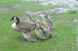 Mother Guards Babies