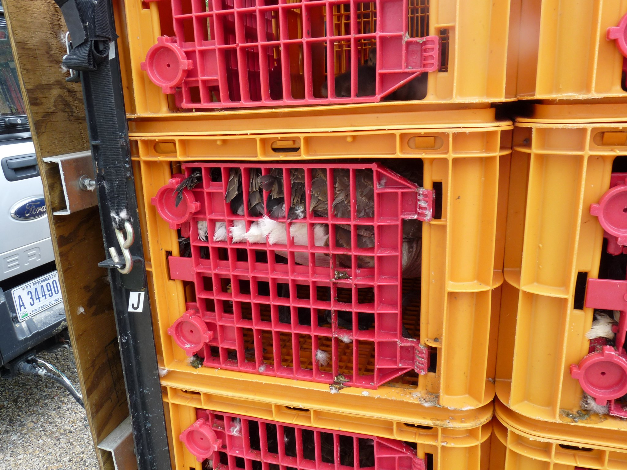 Canada Geese in Crates