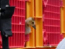Baby Goose captured