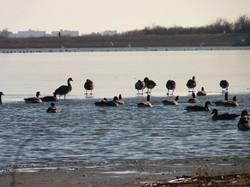 2009 Resident Geese