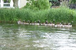 Geese on Lake (c) Jim Pfeil