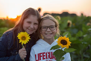midwest sunfower harvest
