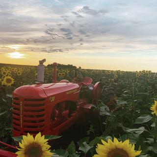 Heap's Sunflower Harvest Event