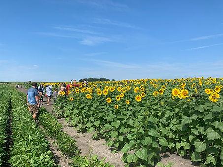 Heap's sunflower harvest