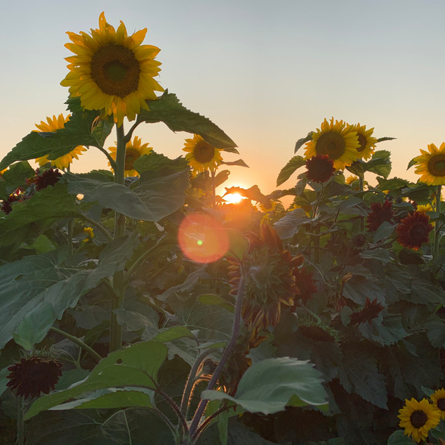 Heap's Sunflower Field