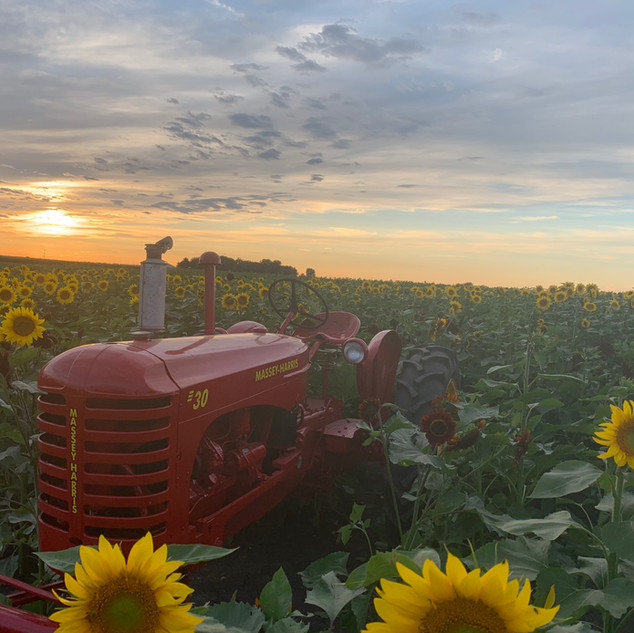 Heap's Sunflower Harvest