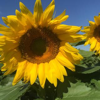 Heap's Sunflower