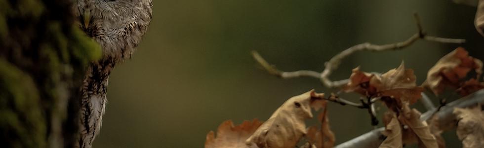 Waldkauz riskiert ein Auge