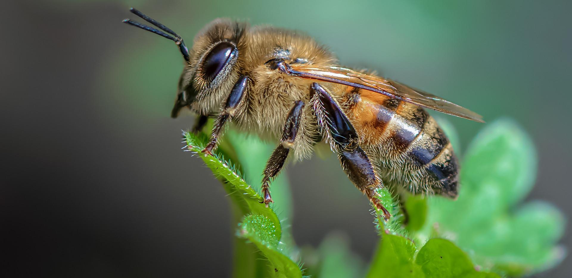 Honigbiene Apis