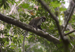 Spot-nosed monkey