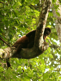 Woolly monkey