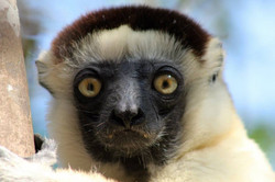 Propithecus verreauxi, Madagascar 13