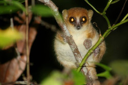 Microcebus rufus, Madagascar 2013