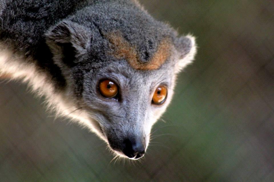 Eulemur coronatus, Madagascar 2013