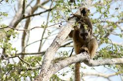 Eulemur fulvus, Madagascar 2013