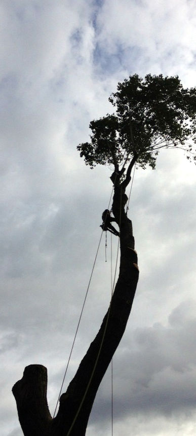 Tree Medic Climing Felling