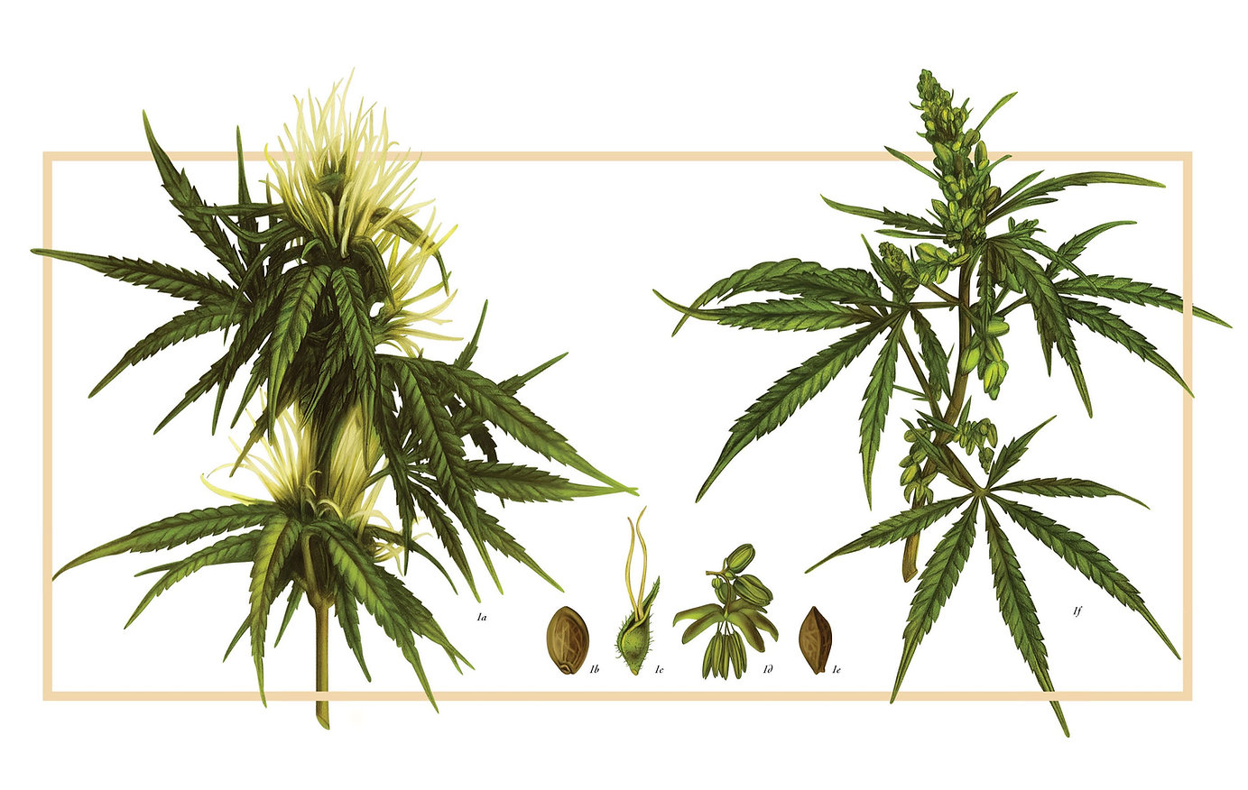 Female%20and%20male%20plant%20illustrati