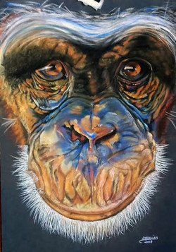 Veronique_Guillot__chimpanzé