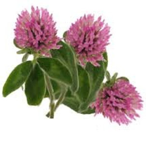 Red Clover Herbal Tincture