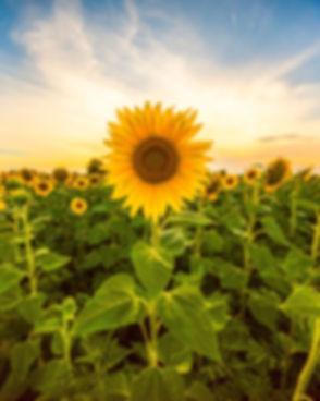 Sunflower field landscape close-up.jpg