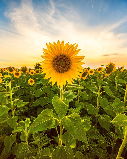 Sunflower field landscape close-up.jpg