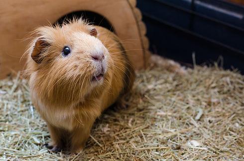 Pet-Guinea-Pig-iStock-628986384.jpg