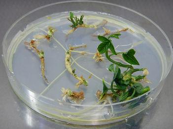 Passiflora_in_vitro_plant_regeneration_A