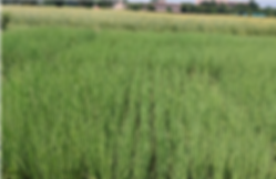 India Rice Fields'.png