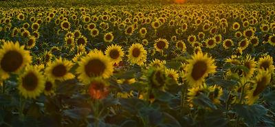 Sunflower Field_edited.jpg