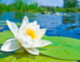 lotus site.jpg