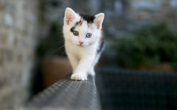 Amazing-White-Cat-with-Dual-Color-Eye-HD-Wallpaper-Background-16217934