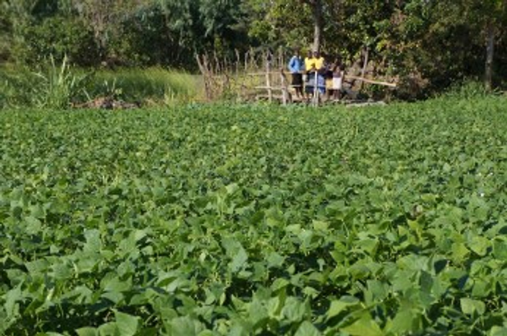 Green beans growing on Kudabwa's farm in northern Malawi. Some family members stand on the bridge in the background.