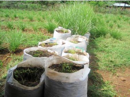 Vetiver: Non-Invasive Erosion Control in Kenya!