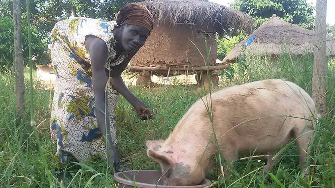 Gardens and pigs in Uganda