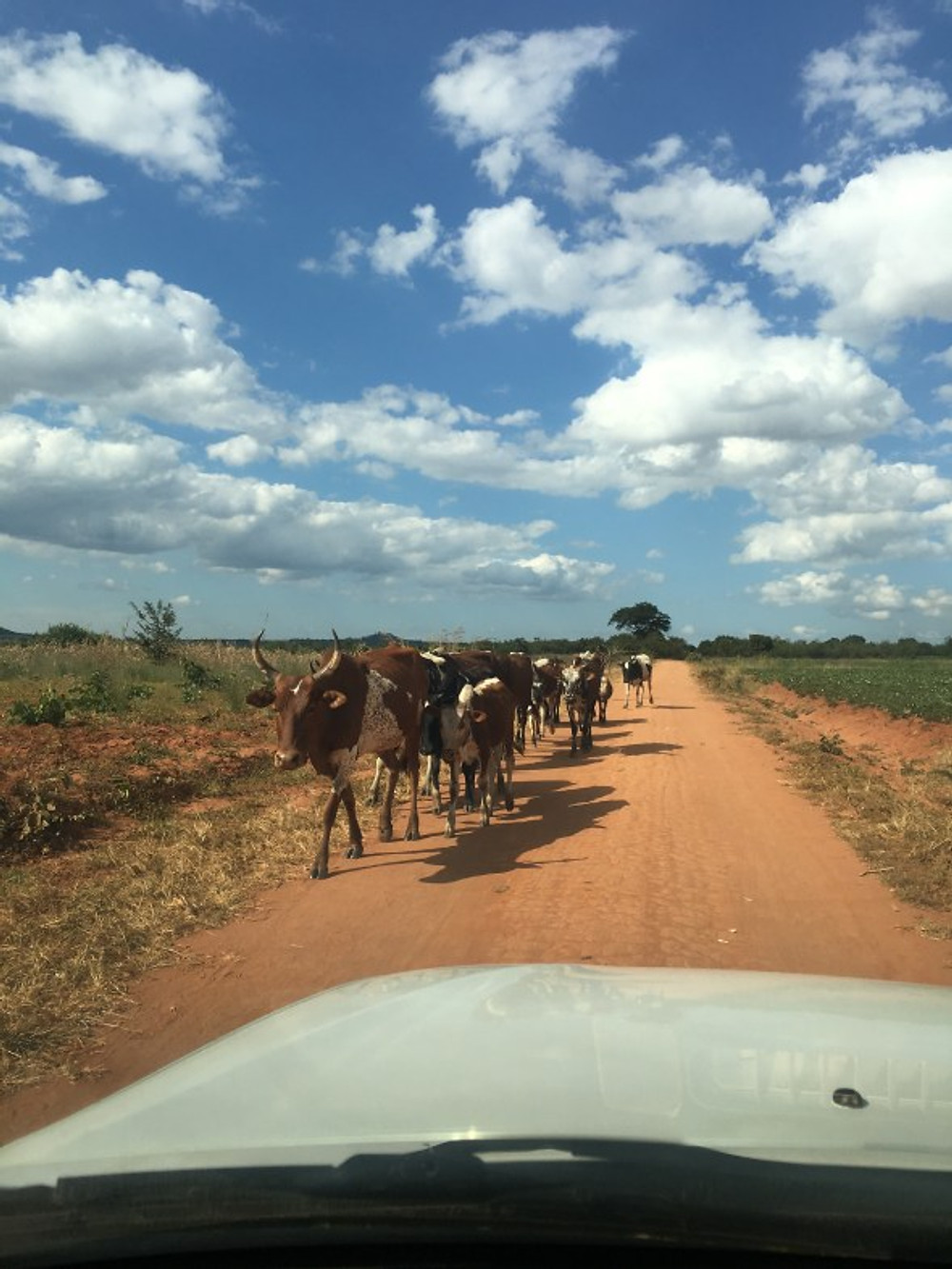 cows on the road in Malawi