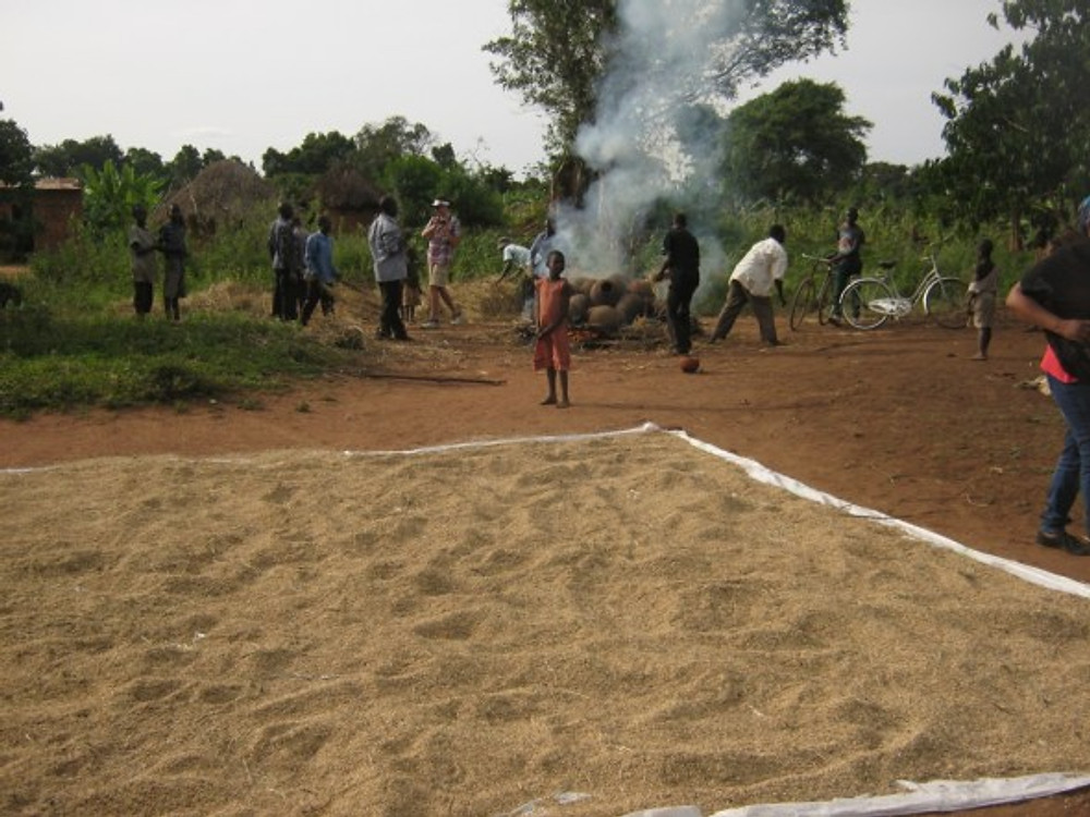 Rice drying in the Kasozi village meeting area in Uganda. In the background, pots are being fired.