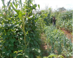 The CMAP Research and Demonstration garden at the beginning of the 2015 cropping season.