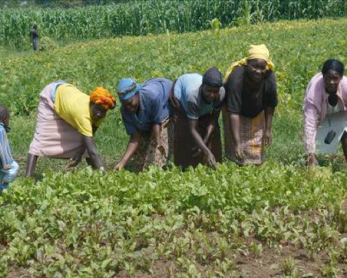 Kapkoi women farmers preparing their spinach nursery for transplanting.