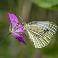Blume Schmetterling; RS Fotografie