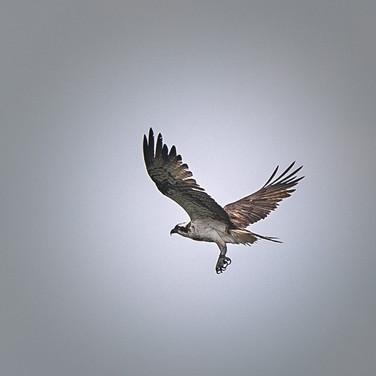 Fischadler_2434.jpg  RS-Fotofgrafie