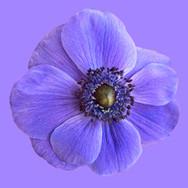 Blüte blau in blau; RS Fotografie