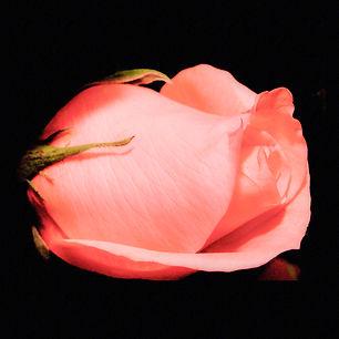 Pink Rose - Teardrop.jpg