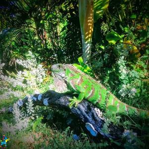 Parajuru © CasteloVendom-iguane.jpg