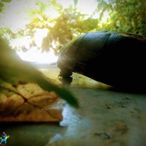 Parajuru © CasteloVendom-tortue.jpg