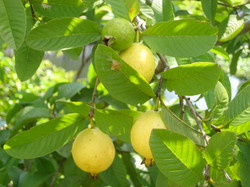 Castelo Vendom fruits