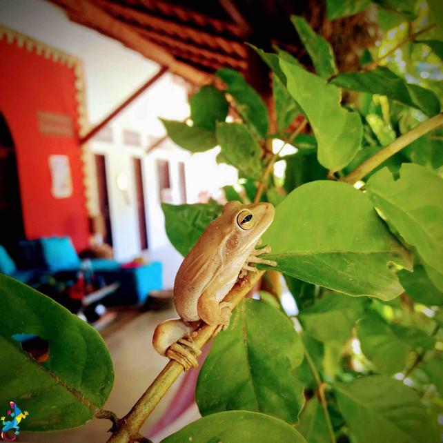 Parajuru © CasteloVendom-grenouille.jpg