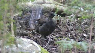 lyrebird and tail 2.jpg