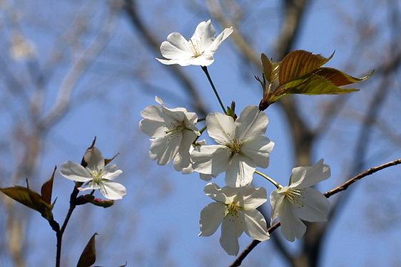 MF2003-04_09_Yamazakura.JPG