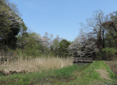今日の桜の開花状況