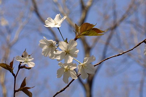 MF2103-04_09_Yamazakura.JPG